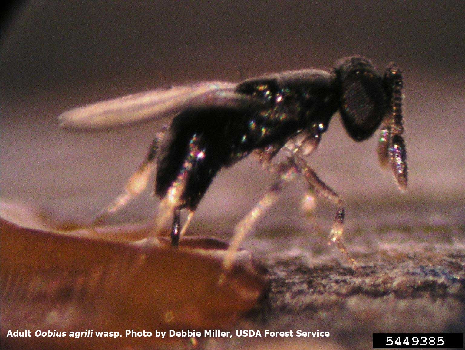 Adult Oobius agrili wasp - photo by Debbie Miller, USDA Forest Service