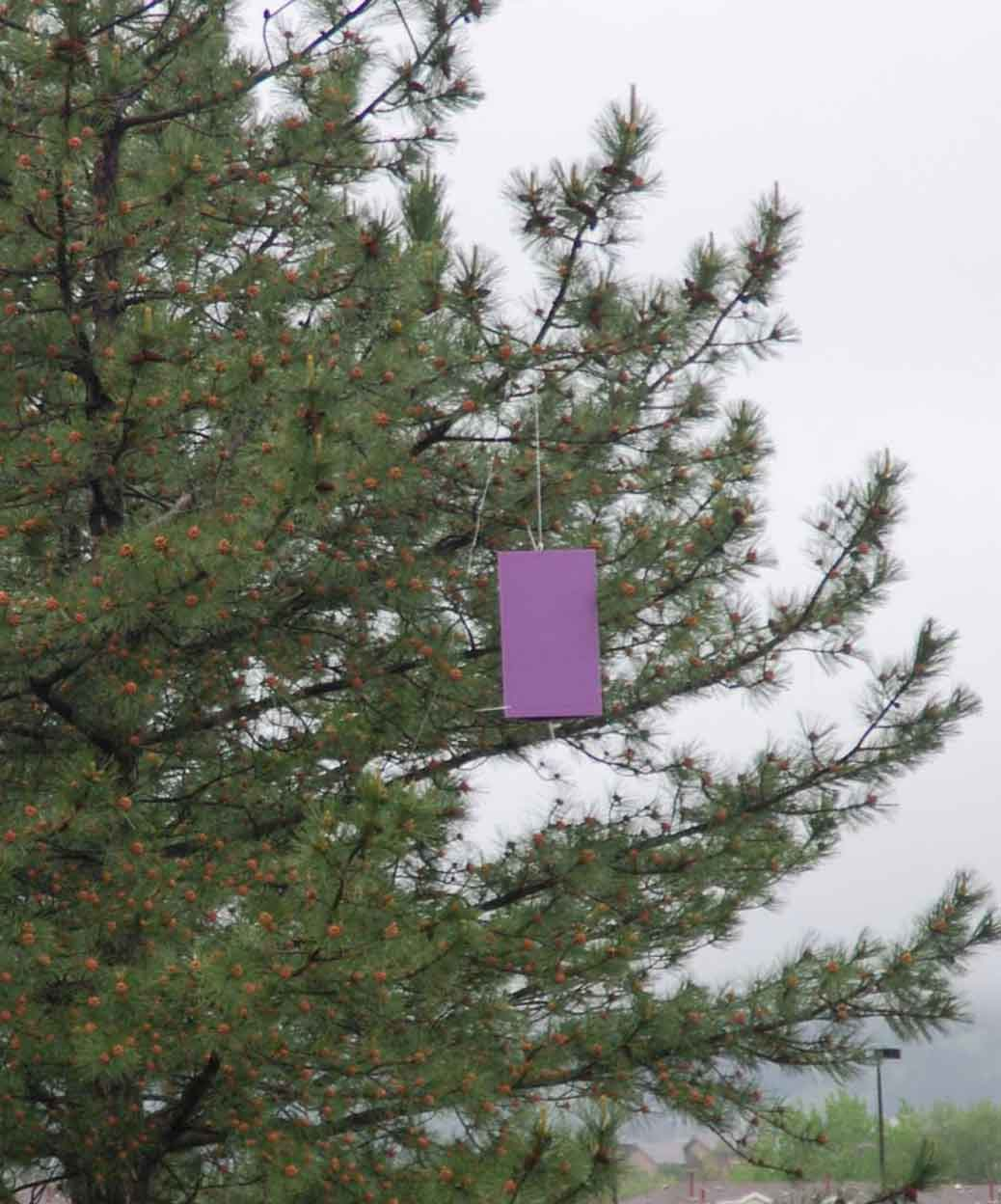 Purple EAB trap