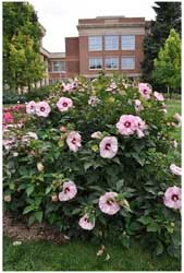 Summerific® Cherry Cheesecake Rose Mallow from Walters Garden