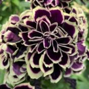Petunia Midnight Gold from Ball FloraPlant