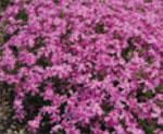 Phlox subulata 'Early Spring® Light Pink' (Early Spring Light Pink Creeping Phlox)